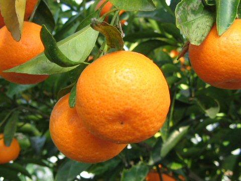 citrus-kinokuni